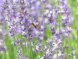 free images meadow flower purple pollination herb crop