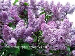 tree with purple flowers the 25 best bush with purple flowers ideas on bush