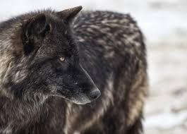 Colorado Wildlife Tours images Colorado wolf and wildlife center cascade escapes jpg