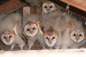 What Does A Barn Owl Look Like Identify Owls Of Iowa