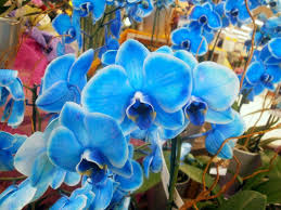 blue orchids for sale plants are the strangest phalaenopsitrocity