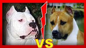 american stanford terrier y american pitbull terrier dogo argentino vs american staffordshire terrier quien ganaría