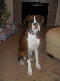 boxer dog reverse brindle boxers page 31 for sale ads free classifieds