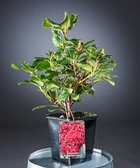 Weihnachtsmarkt Baden Baden Scharlachroter Zwerg Rhododendron Rhododendron Repens Baden