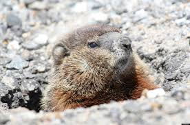 Can You Bury Animals In Your Backyard Groundhogs In Your Garden What You Should Know About The