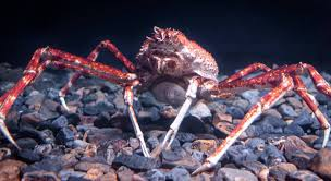 giant jumping spider spirit halloween japanese giant spider crab macrocheira kaemferi arthropods