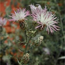 russian native plants spotted knapweed u2014 northern arizona invasive plants