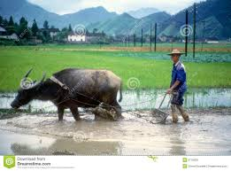 Image result for buffalo with man free images
