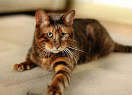 best 25 toyger cat ideas on pinterest tiger cat breed pretty