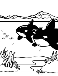 coloring page killer whale two killer whales orca on hunting coloring page download print