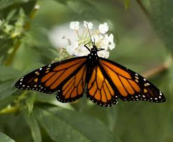 minnesota state butterfly monarch butterfly
