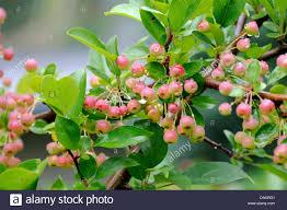 ornamental apple tree malus toringo var sargentii malus stock