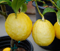 etrog for sale etrog citron citrus medica