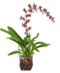 oncidium orchid oncidium orchid tips and techniques for oncidium orchid care