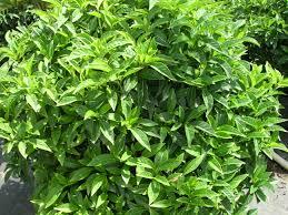 florida keys native plants native florida coffee species psychotria ligustrifolia p