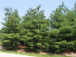 white pine tree pine one of the best survival trees on point preparedness