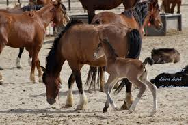 mustang horse three strikes u201d adoption and sale authority u2013 wild horse education