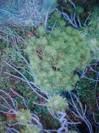 broom universe 35 pinus mugos of austria