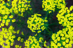 Lime Green Flowers - spring bush with lime green flowers stock photo image 54154581