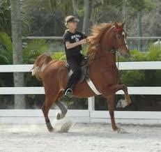 australian shepherd e cavalli il cavallo americano da sella e u0027 una razza nativa degli stati