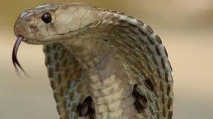 aneh pria ini kebal gigitan king kobra justru ditakuti ular dan