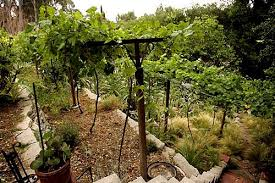 As An Ode To My Gallo Winery Days I Must Have At Least A Few - Backyard vineyard design