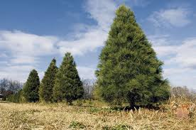 what kind of christmas tree do you have my indiana home