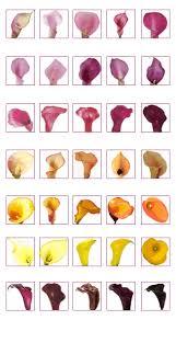 calla colors calla colors solidaria garden