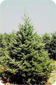 balsam fir christmas tree balsamfir2 jpg