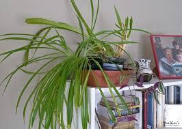 houseplants spider plant chlorophytum comosum