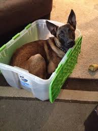 belgian malinois puppies 6 months cyrus lionhearts can u0027t be a tamed 6 month old belgian malinois