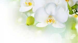 White Orchid Flower Beautiful White Orchid Flower Wallpaper Aa Flowers Pinterest