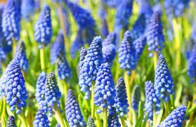 hyacinth flower grape hyacinths growing muscari bulbs