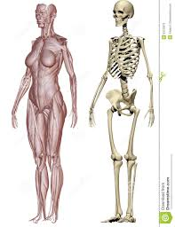 Human Body Muscles Images Muscles Of The Female Human Body Human Anatomy Chart