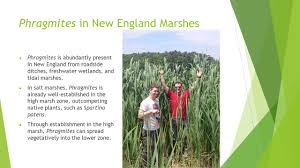 new england native plants spartina alterniflora and phragmites australis effects of