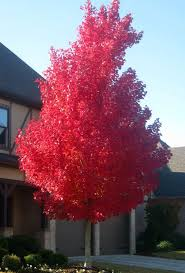 shade tree of the week october maple sunset