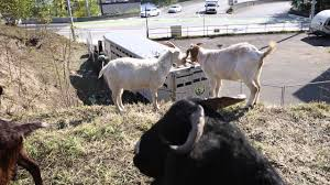 Get Your Goat Rentals by Goat Landscaping Mcmenamins Elks Lodge Youtube