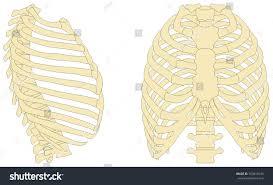 Human Anatomy Anterior Human Rib Cage Anatomy Anterior Right Stock Illustration 553810249