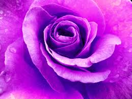 blumen lila bild lila rose natur blumen rose von boguttiskunst bei kunstnet