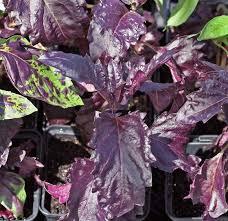 purple basil ornamental basil our plants kaw valley greenhouses