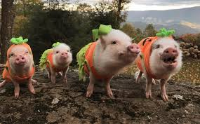 Halloween Costumes Pig Adorable Pigs Sporting Favourite Halloween Costumes Caters