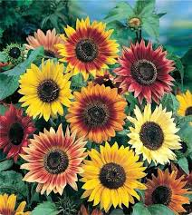 growing sunflowers for efficiency and elegance the curated