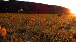 anza borrego super bloom wildflower super bloom photos of the anza borrego desert anza