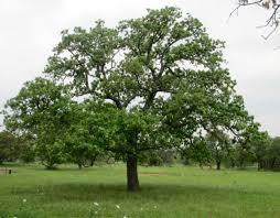 what does it take to become a post oak tree nokes
