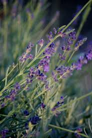 When Is Lavender In Season In Michigan by Dreaming In Lavender Wisconsin Gardening Enewsletter