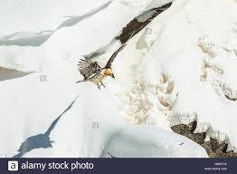 Seeking Vulture Bearded Vulture Gypaetus Barbatus In Flight Seeking A Bone In