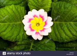 Pink Primrose Flower - primrose primula u0027delia mix u0027 overhead graphic view of one cream