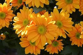 free photo mums flowers colors yellow free image on pixabay