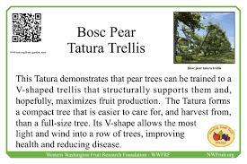 home fruit garden tour u2013 bosc pear tatura trellis western
