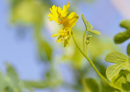 how to grow canary creeper flowering vines